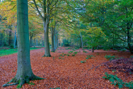 Felbrigg Great Wood