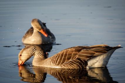 Brown Geese