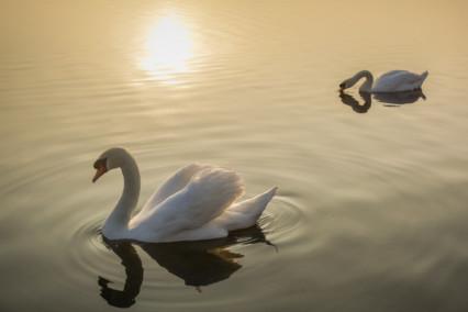 Sunlit Swans