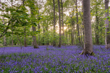 Bluebells at Blickling Estate