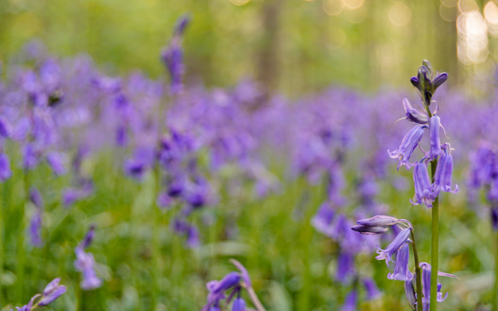 Bluebells at Blickling Hall