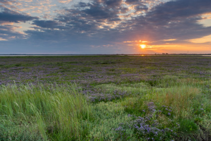 Breydon Water Sea Lavender