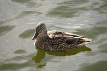 Female Gadwall