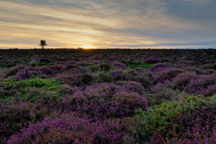 Heather at Dunwich Heath