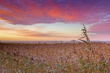 Reeds at Herringfleet