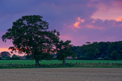 Trees and Pink Sky