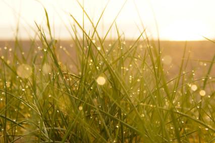 Wet Dune Grass