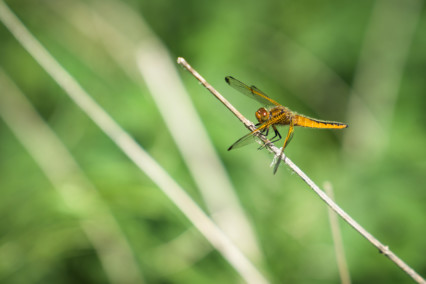 Common Darter Dragonfly - Norfolk Broads