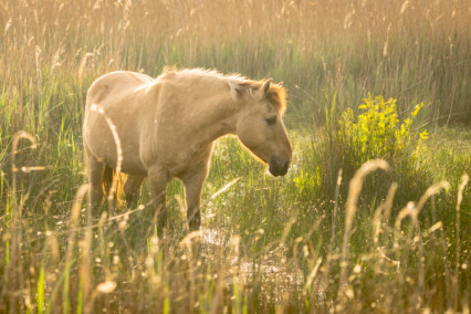 Konik Pony Norfolk Broads