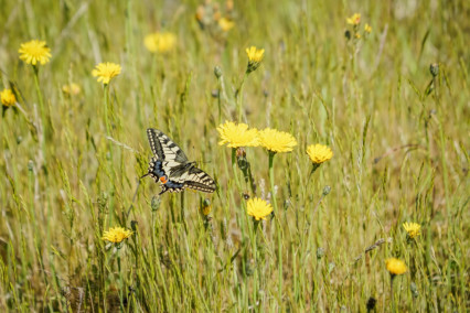 Swallowtail Butterfly - Norfolk Broads